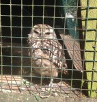 Burrowing Owl, The Hawk Conservancy Trust, Birthday, Owl