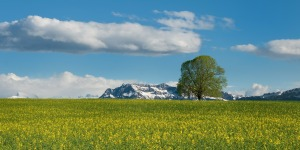 Tree, Field, Oilseed, Summer, Alpine, Switzerland, Creative Commons, realworkhard, Pixabay